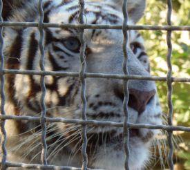 Парк тигров, Камполонго-Маджоре